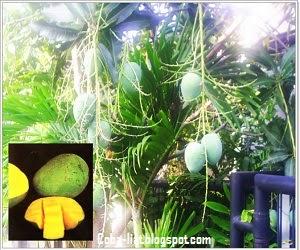 Jenis buah mangga