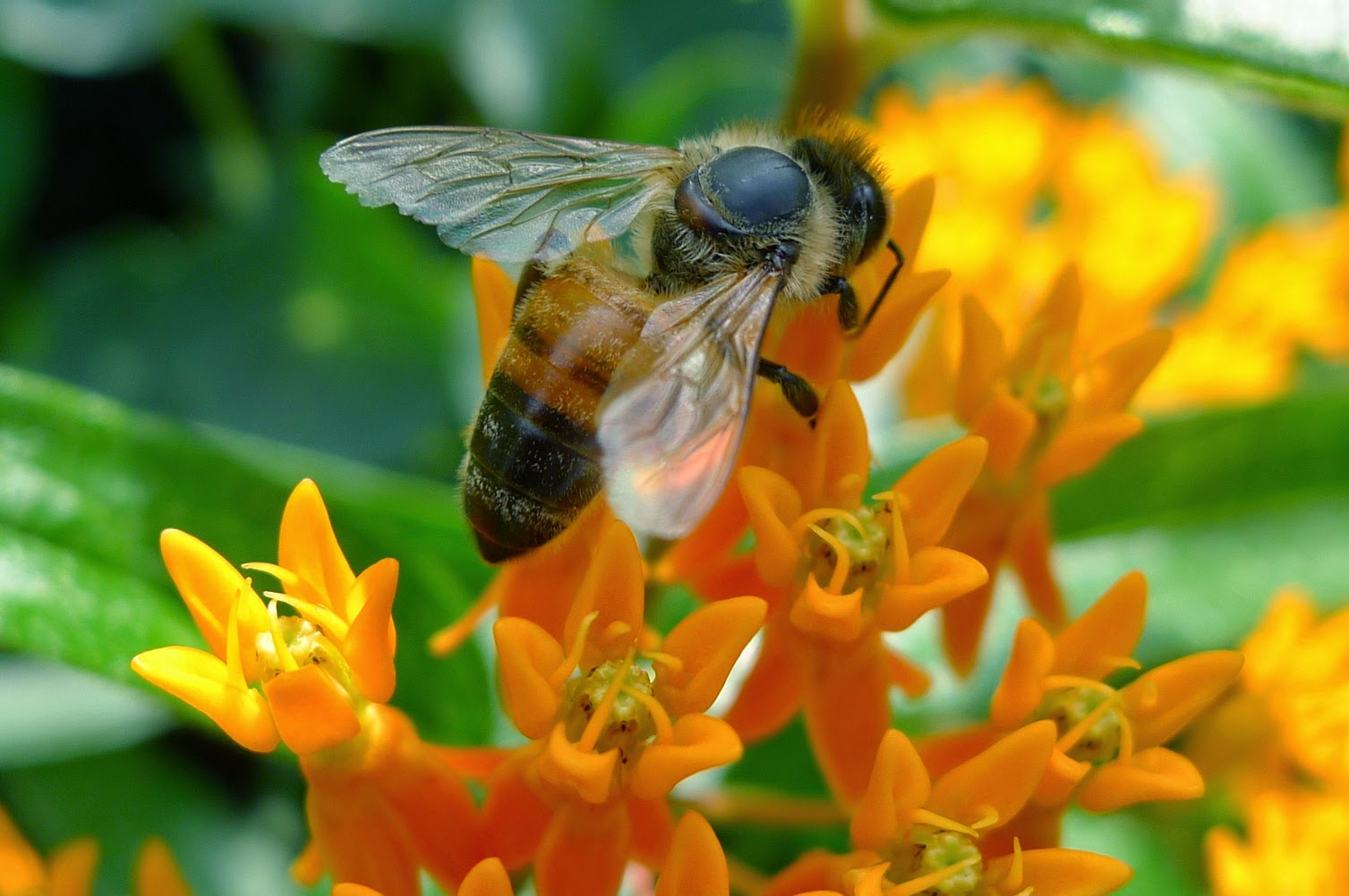 Honey Bee on Milkweed, pollinators, Urban Farming