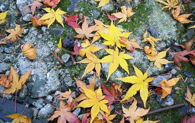 Indahnya Musim Gugur di Jepang, japan Autumn Leaves