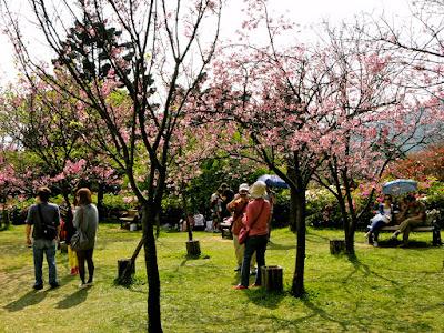 Yangmingshan Sakura Trees Taiwan