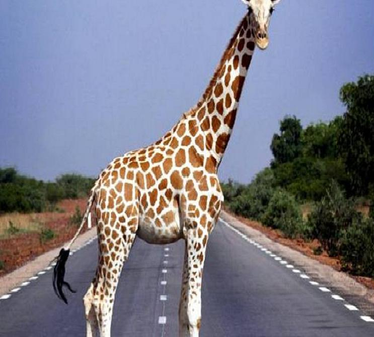 Giraffe - the Tallest Animal in the world. - YouTube