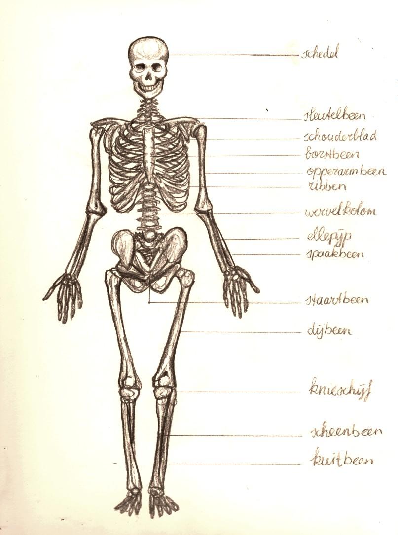 weetjes over het skelet