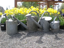 King Alfred Daffs & Watering Cans