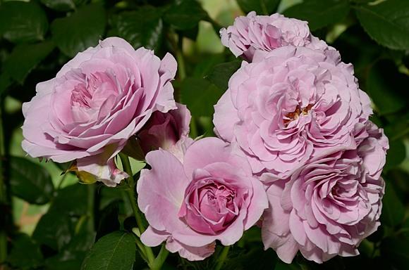 Lavender Ice rose сорт розы фото