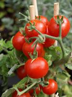 siembra y plantación Tomates