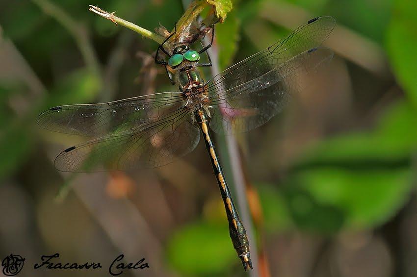 RARITÀ: Smeralda di Fiume (Oxygastra curtisii)