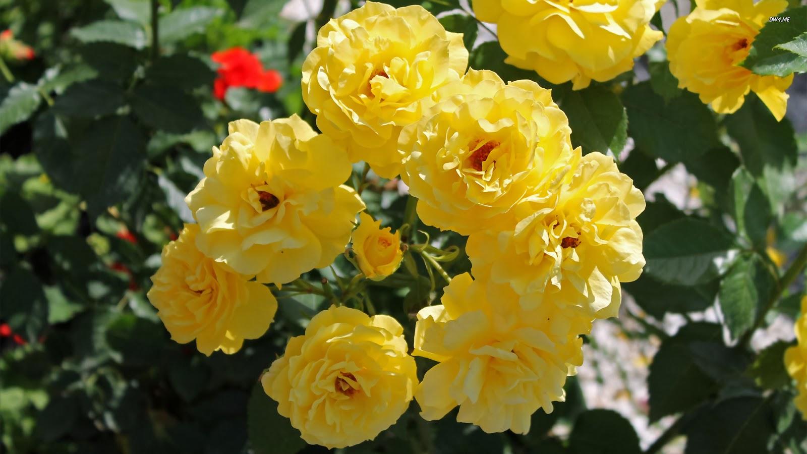 570 Yellow Roses 1920x1080 Flower Wallpaper