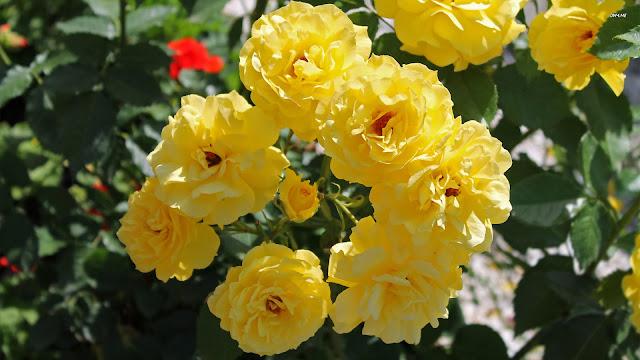 Beautiful Yellow Rose Wallpapers Free Download