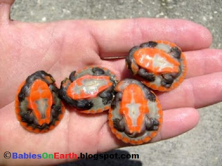 Baby Asian Box Turtle