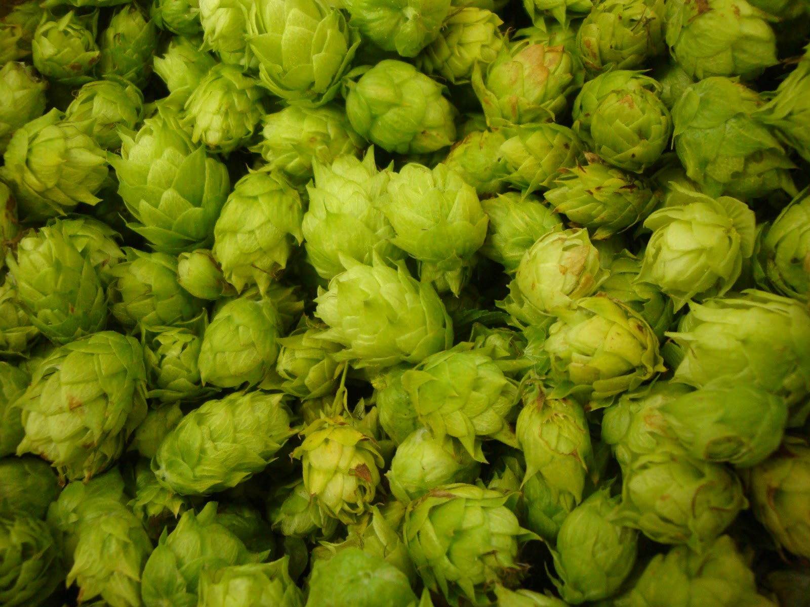 Bill pulled down the vines for me, and I plucked the hops. Right now ...
