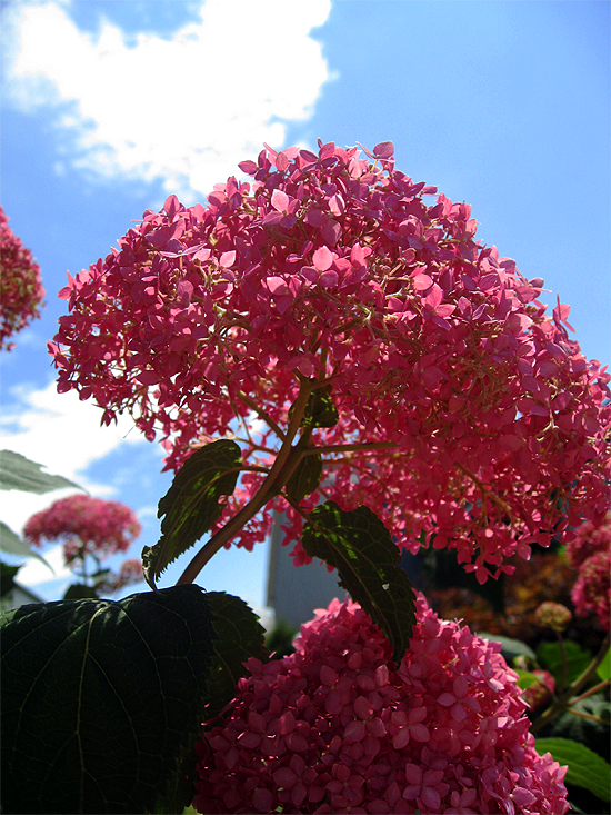 Invincibelle Spirit Hydrangea against the sky