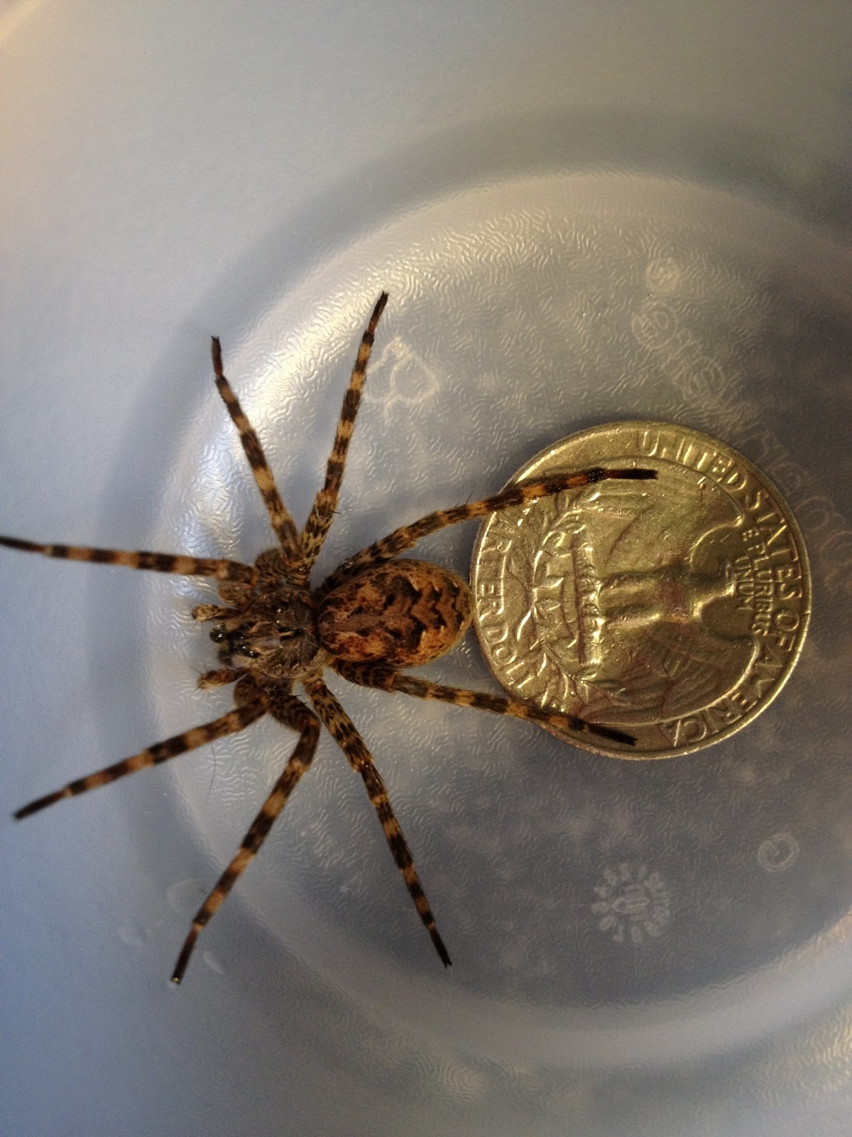 Fishing spider michigan spiders for Fishing spider michigan