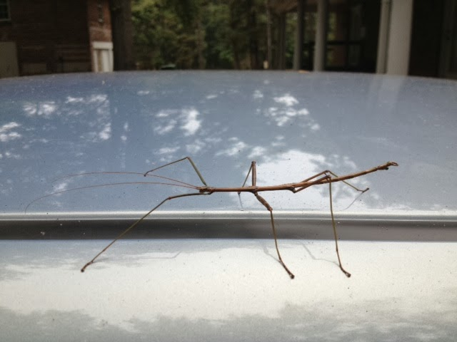 A Catholic Priest In Mississippi Stick Insect Walking