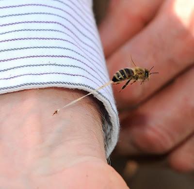 picadura de abeja curiosidades