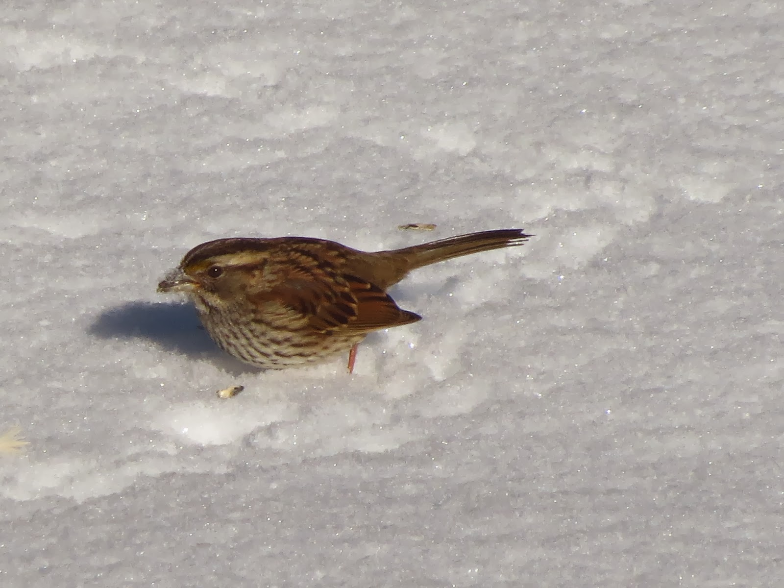 white throated sparrow with seed