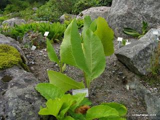 Ligularia rumicifolia
