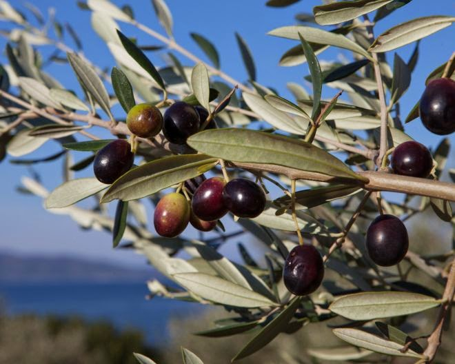 Olives Corses
