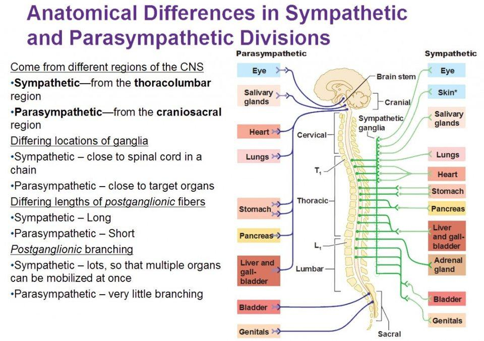 Medical Addicts Anatomical Differences In Sympathetic And