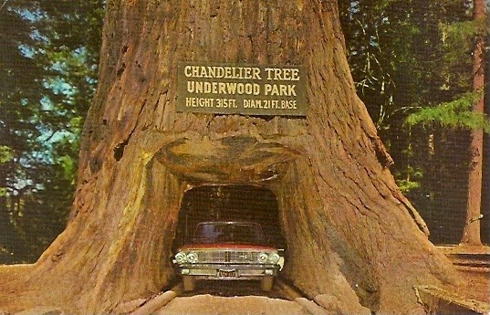 1960s image of a 1964 Ford Galaxie passing through the Chandelier Tree