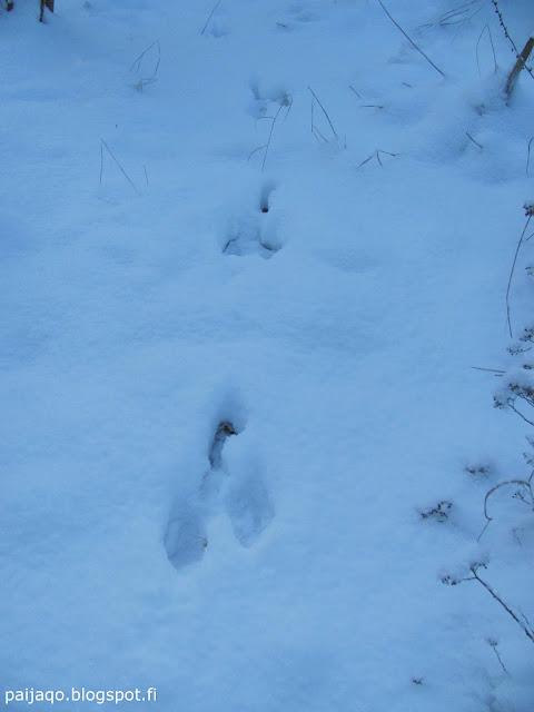 talvi: jäniksen jäljet hangella