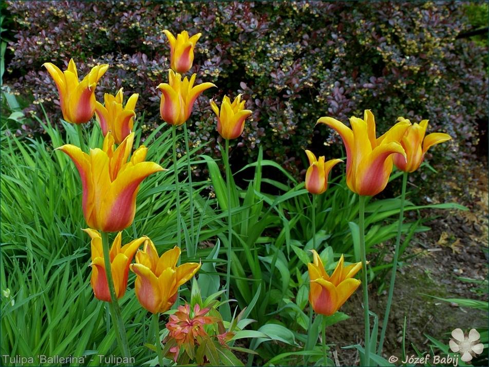 Tulipa 'Ballerina' - Tulipan 'Ballerina'