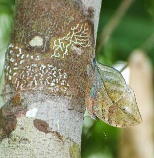 Malayan Oakleaf (Kallima limborgii)