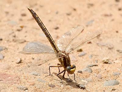 dusky clubtail dragonfly