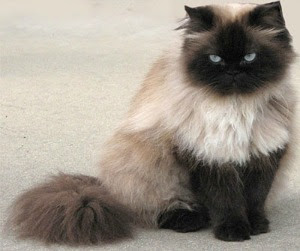 Himalayan Siamese Persian Cat Desktop Background