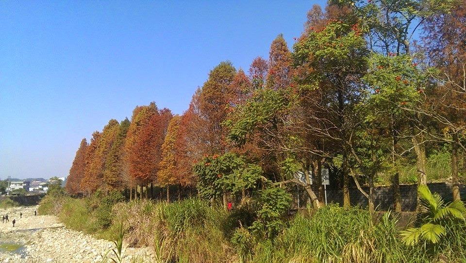 雲林縣內有兩處北國風情的落羽松步道,分別位於古坑行滿橋旁,以及林內農田水利文物陳列館!