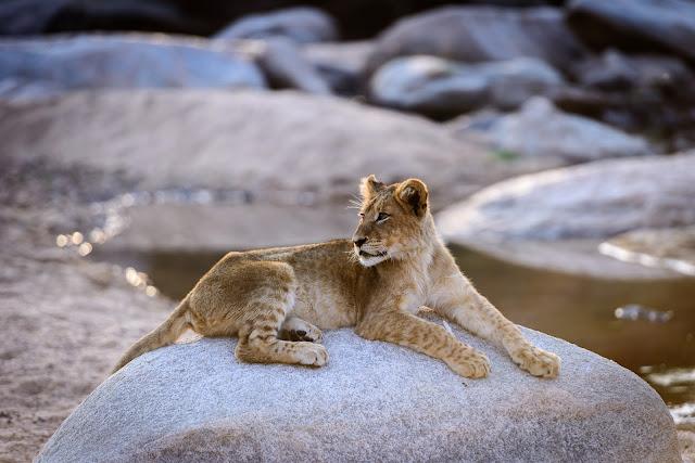 Lone Lion Cub