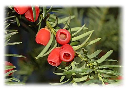 Teixo (Taxus Baccata)