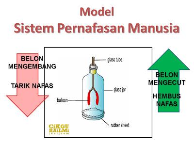 model sistem pernafasan manusia