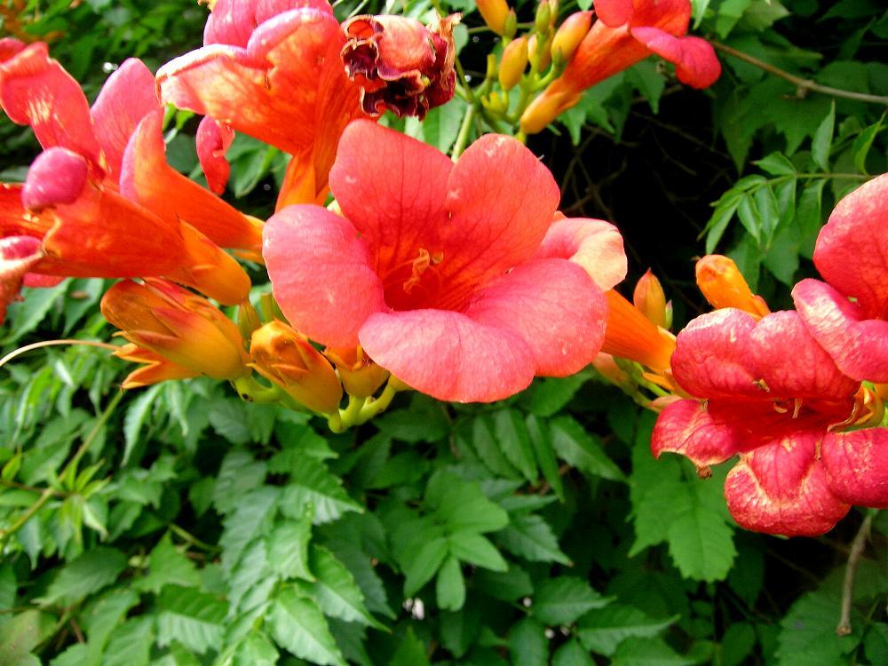 the trumpet vine campsis species and hybrids the garden of eaden. Black Bedroom Furniture Sets. Home Design Ideas