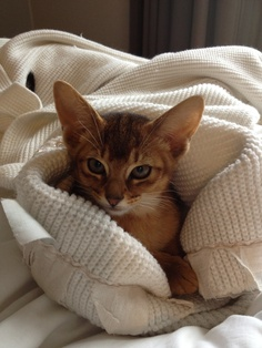 Price range of Abyssinian Kitten