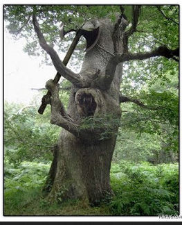 Pohon tua bercabang menyerupai bentuk manusia