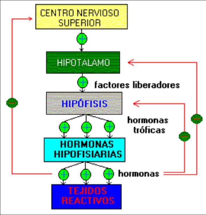 Resultado de imagen para retroalimentacion de la hipofisis