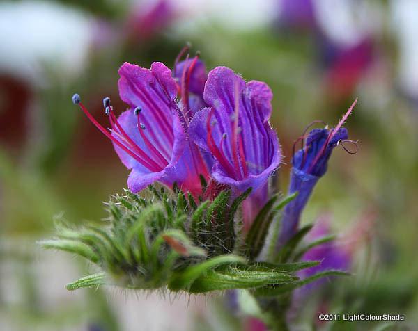 Echium plantagineum, Purple Viper Bugloss flowers close-up