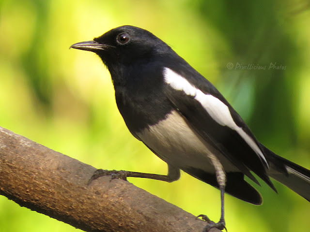Oriental Magpie Robin on a Tree Branch