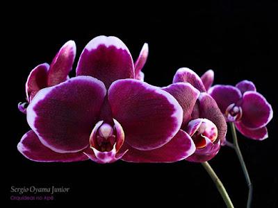 Orquídea Phalaenopsis Ever Spring 'Prince'