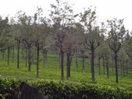 Kothatgiri Tea Gardens