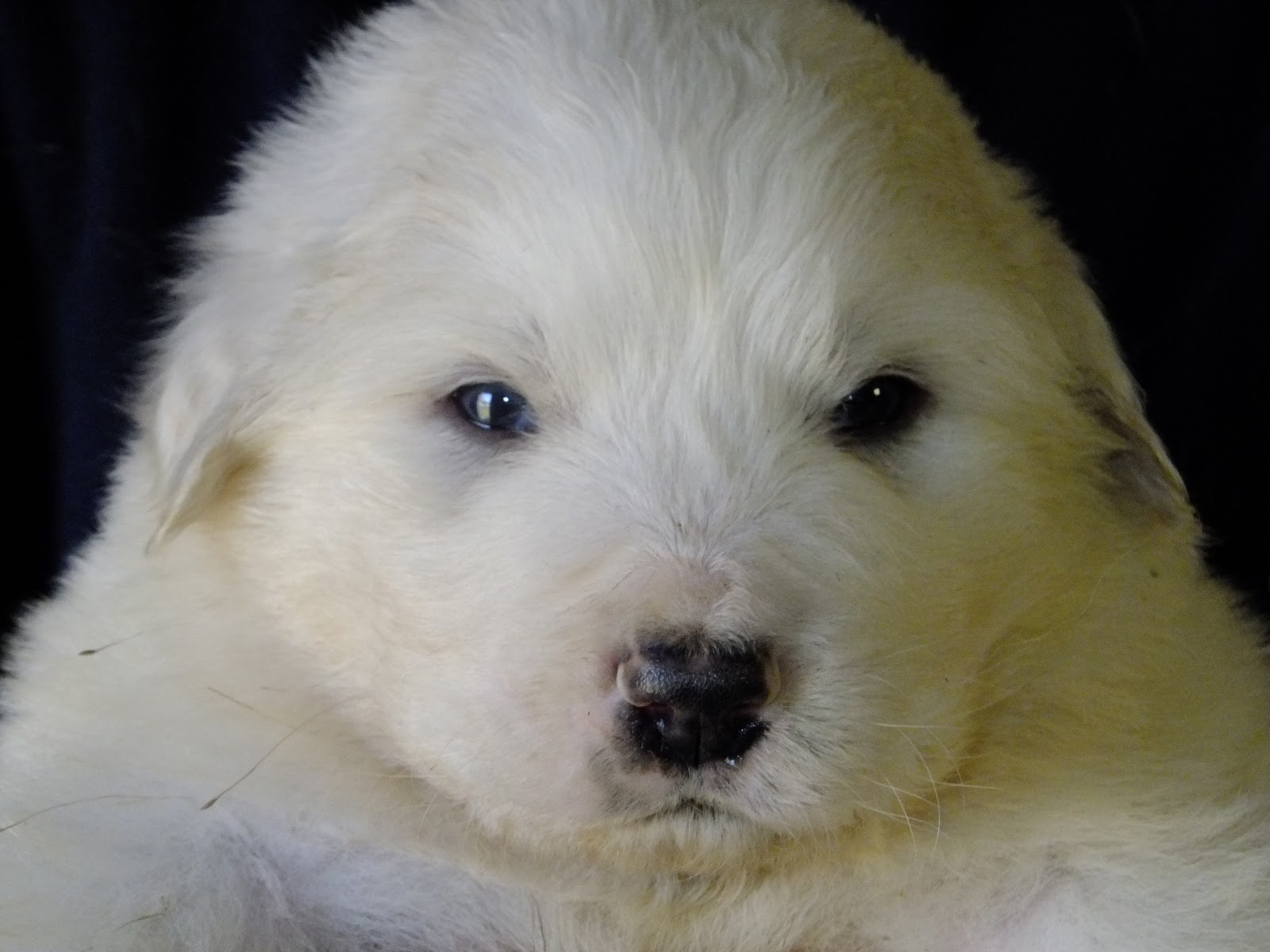 Graceful Great Pyrenees On Pinterest Great Pyrenees
