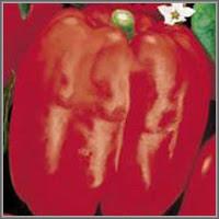 Сладкий перец сорт «Самородок»