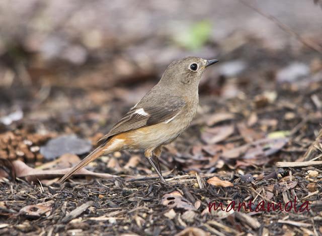 Daurian Redstart 黃尾鴝 (Phoenicurus auroreus)