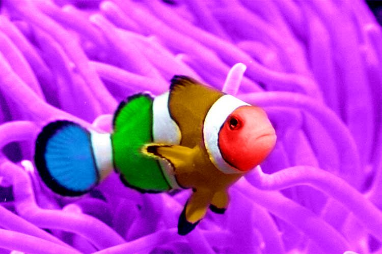 Clown Fish | The Life of Animals