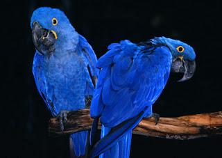 Hyacinth Macaws image