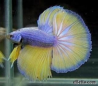 Gambar Ikan Cupang cantik, Gambar Ikan Aduan cantik, Gambar Ikan Laga cantik