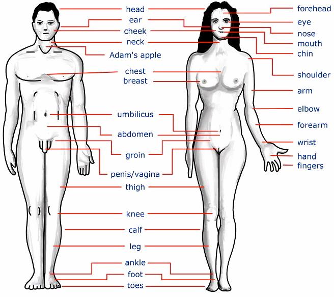 Imágenes de partes del cuerpo en ingles y español | Material para ...