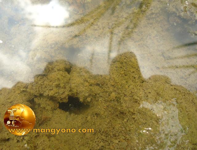 FOTO : Liang / lubang belut di sawah, diantara rumpun padi.