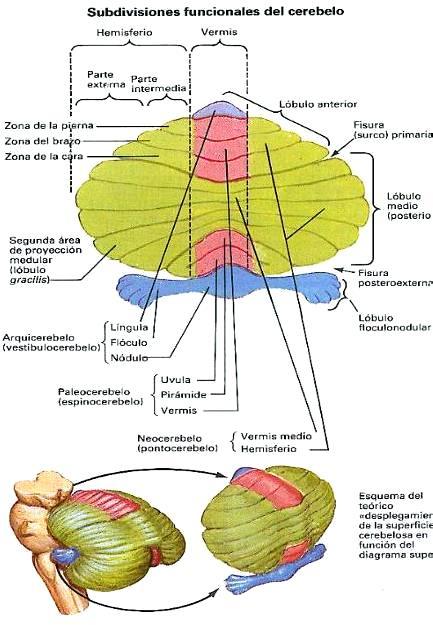 Dibujo del Cerebelo y sus Subdivisiones funcionales