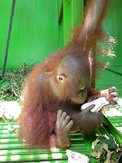 Baby orangutan Bandut explores his new enclosure